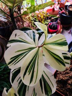 Variegated spiral ginger Cheilocostus speciosus – Best Garden Plants And Planting Unusual Plants, Rare Plants, Cool Plants, Big Plants, Cactus Plants, Planting Succulents, Planting Flowers, Room Deco, Ginger Plant