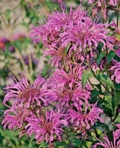 Salt tolerant Monarda 'Peter's Purple' (Peter's Purple Bee Balm)