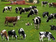 Cows on Green Fabric / Farm Animals Fabric / Elizabeth's Studios 337 Green / Holstein, Hereford Fabric / Cow Yardage & Cow Fat Quarters by SewWhatQuiltShop on Etsy
