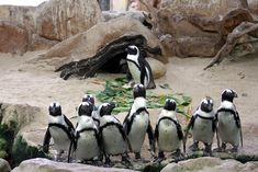 Experience the incredible diversity of the Indian and Atlantic Oceans at one of Cape Town's top tourist attractions, the Two Oceans Aquarium. Penguin Day, Penguin Life, Rockhopper Penguin, Ocean Aquarium, African Penguin, Cape Town South Africa, Endangered Species, Oceans, Animal Kingdom