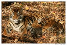 Saving the tiger means saving mankind..    Not only is the tiger a beautiful animal but it is also the indicator of the forest's health. Saving the tiger means we save the forest since tiger cannot live in places where trees have vanished and in turn secure food and water for all.