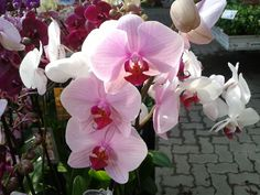 Orchids, Rose, Flowers, Plants, Gardening, Pink, Lawn And Garden, Plant, Roses