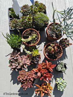 Diese Sukkulenten sind bereit zu pflanzen