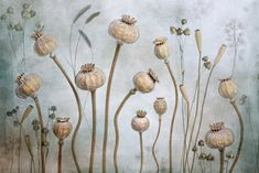 Papaver by Mandy Disher
