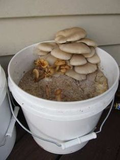 growing oyster mushrooms with dirt, a pail and oyster spores...easy!! Maybe Ill give it a go this year.