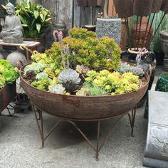Large solid iron Kadai bowl planted with succulent arrangements. Iron stand incl… Large solid iron Kadai bowl planted with succulent arrangements. Originally used in north India as an oversized cooking pot. Succulent Bowls, Succulent Display, Hanging Succulents, Succulents In Containers, Succulent Arrangements, Cacti And Succulents, Container Plants, Container Gardening, Container Flowers