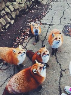 foxes omgggg