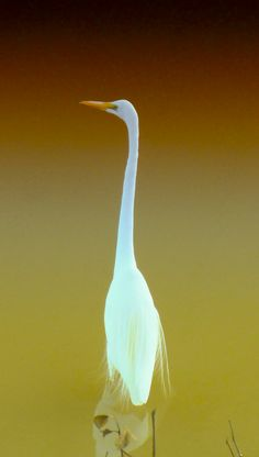 This Egret looks like it is made from opals. gorgeous.