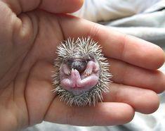 baby pygmy hedgehog