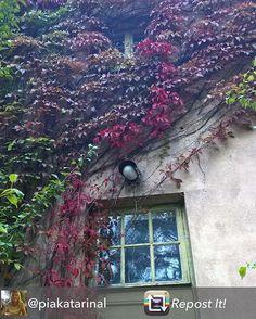 Syksyn värejä Itäisessä Jokipuistossa. Höstens färger i Östanåparken.  Tämän kauniin kuvan jakoi  @piakatarinal - #villiviini #vildvin #door #olddoor #klätterväxt #window #ovi #dörr #muistojennikkilä #sipoo #sibbo #syyskuu #september #syksynvärit #höstensfärger #colorful #oldhouse