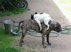 This dog who thinks this other dog is a bed. | 23 Dogs Who Are Too Adorably Stupid For Their Own Good