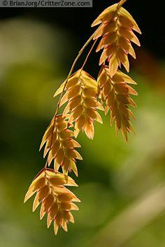 Chasmanthium latifolium - Uniola latifolia