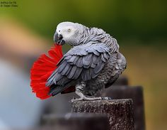 I love African greys!