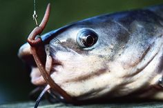 12 different catfish baits that will produce great results and help your catch that monster cat!