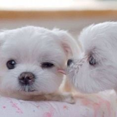 Maltese kisses...so sweet!