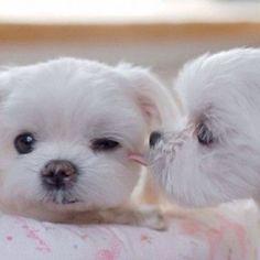 Maltese kisses...so sweet!