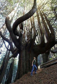The oldest tree on earth! 1500 years