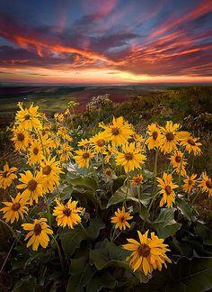 Sunset on Steptoe With Sunflowers