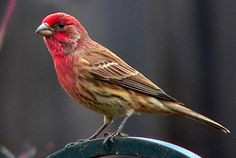 House Finch. Love the red on his head and chest! Now I know what is coming to my feeders--just in the last 3  days! ty
