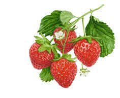 "Strawberries  © 2013 ~ annamasonart.com ~ 31 x 23 cm (12"" x 9"")"