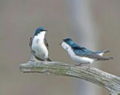 Tree Swallow holding his ground ღ