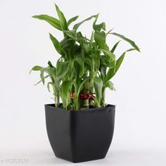 Checkout this latest Indoor Plants Product Name: *Two Layer Lucky Bamboo In Back Pot* Material: Plastic Pack: Pack of 1 Product Length: 5 Inch Product Breadth: 5 Inch Product Height: 6 Inch Country of Origin: India Easy Returns Available In Case Of Any Issue   Catalog Rating: ★4.2 (1498)  Catalog Name: Unique Indoor Plants CatalogID_3833710 C133-SC1606 Code: 482-18757936-558