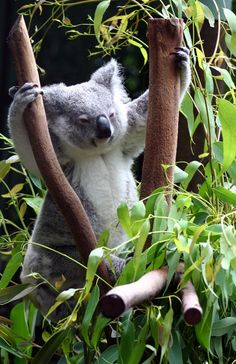Koala is practicing fitness. Animals And Pets, Baby Animals, Cute Animals, Baby Koala, Koala Bears, Beautiful Creatures, Animals Beautiful, Koala Marsupial, Unusual Animal Friendships