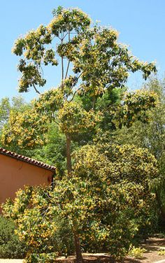 Hymenosporum flavum  Native Frangipani  A fragrant and fast-growing native tree with deep green foliage and yellow or white-yellow flowers.
