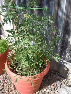 4/29 Cherry Tomato Plants grew so quickly
