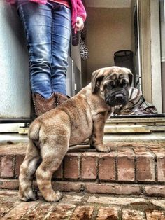 The African Boerboel is a small study in opposites. Mastiff Breeds, Mastiff Dogs, Giant Dog Breeds, Giant Dogs, Fierce Animals, Cute Animals, I Love Dogs, Cute Dogs, South African Boerboel
