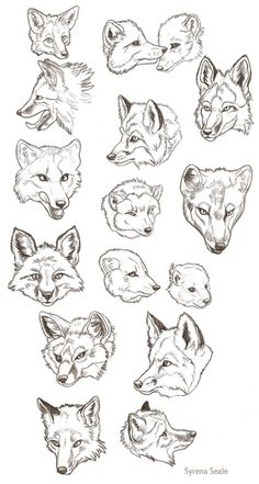 Red Fox or wolf anatomy guide - head and expression study - animal drawing reference