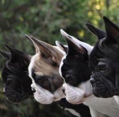 PetYourDog.com | Pet Your Dog | Frenchies