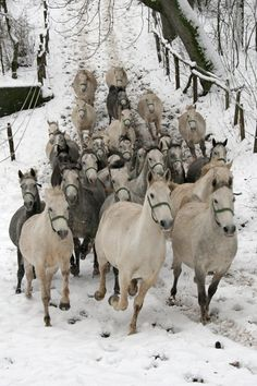 HORSE.. Gosh that's a lot of gray horses... and they all have halters on