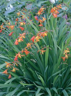 Ruostekukka on suojaisten ja lämpimien paikkojen laji. Sirokukkaisesta kasvista tulee 50–80-senttinen.