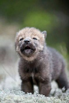 57 Teeny Baby Animals That You Will Love! The Baby Animals are back! What is your favorite baby animal called? Cub, kitten, pup, calf or chick? It's basic Wolf Love, Beautiful Wolves, Animals Beautiful, Cute Dogs Breeds, Dog Breeds, Cute Baby Animals, Funny Animals, Wild Animals, Tier Wolf