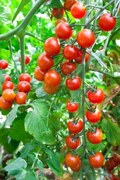 Growing Cherry Tomatoes, Small Tomatoes, Growing Grapes, Cherry Tomato Plant, Tomato Plants, How To Grow Cherries, Garden Tattoos, Container Herb Garden, Fruit Photography