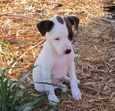 Black And White Feist Dog Mountain feist dog....our next dog if we can ...