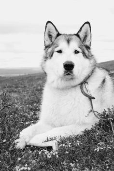 Free download of this photo: https://www.pexels.com/photo/grayscale-photography-of-siberian-husky-laying-down-on-grasses-195550/ #black-and-white #animal #dog