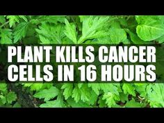 Scientists Find Plant That Kills 98% Of Cancer Cells In Just 16 Hours - YouTube