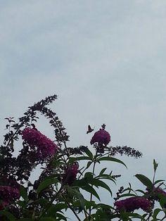 Kolibrie-vlinder zomer 2014