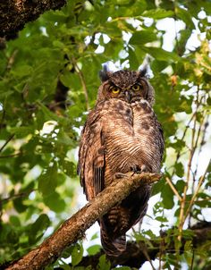 Great Horned Owl by Basque Lady on Flickr.