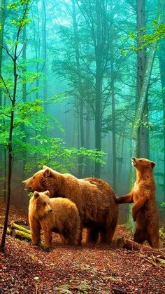 Brown Bears in the forest