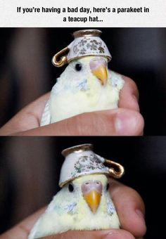 If You're Having A Bad Day, Here's A Parakeet In A Teacup Hat funny cute animals birds adorable lol humor funny pictures funny photos funny images hilarious pictures