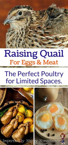 Raising Quail for Eggs & Meat. The Perfect Poultry for Limited Spaces like an Urban Farm or a Backyard Homestead.