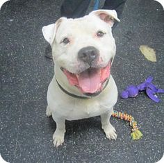 Menands, NY - Bulldog Mix. Meet Deebo, a dog for adoption. http://www.adoptapet.com/pet/13654701-menands-new-york-bulldog-mix