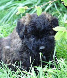 Bouvier des Flanders puppy