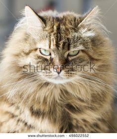 Furry brown kitten, siberian breed
