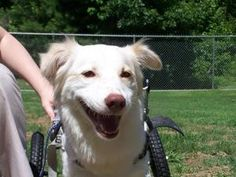 ELLE is an adoptable Shetland Sheepdog Sheltie Dog in Hilton Head Island, SC. Elle is a 1 1/2 year old beautiful Sheltie mix who looks like a Mini Golden Retriever. She is unable to use her rear legs ...