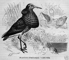 Stich von 1891 Vogel KAMPFLÄUFER SUCHVOGEL | eBay