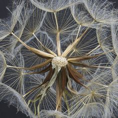 Dandelion flower image magnified